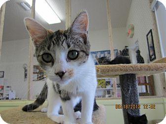 Domestic Mediumhair Kitten for adoption in Bunnell, Florida - Sassy