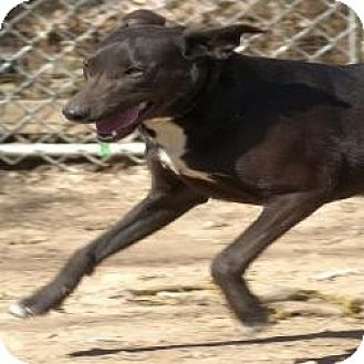 Labrador Retriever Mix Dog for adoption in Oakland, Arkansas - Sheena