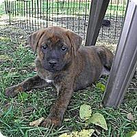 Adopt A Pet :: Molly - York, SC