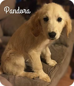 Golden Retriever/Labrador Retriever Mix Puppy for adoption in Columbia, Tennessee - Pandora