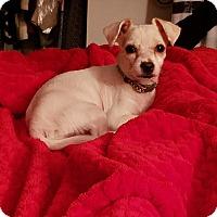 Adopt A Pet :: Lola - Bronx, NY