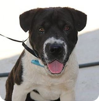 Shar Pei/Cattle Dog Mix Dog for adoption in Lacey, Washington - Samson