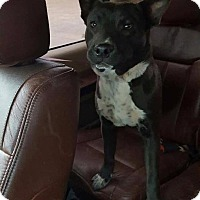 Australian Cattle Dog/Bull Terrier Mix Dog for adoption in Traverse City, Michigan - MacGyver