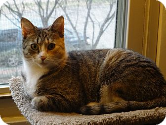 Domestic Shorthair Cat for adoption in Cleveland, Ohio - Chloe