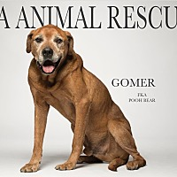Adopt A Pet :: Gomer the Governor - Los Angeles, CA