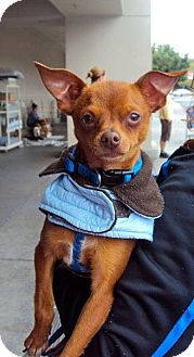 Chihuahua Puppy for adoption in San Diego, California - Archie
