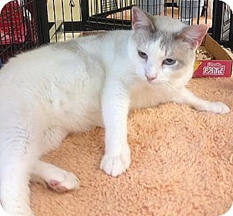 Siamese Cat for adoption in Miami, Florida - Maya