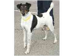 Fox Terrier (Smooth) Dog for adoption in Provo, Utah - TAZU