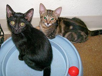 Domestic Shorthair Kitten for adoption in Scottsdale, Arizona - Midnight
