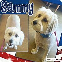 Adopt A Pet :: Sammy - Scottsdale, AZ