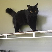 Domestic Mediumhair Cat for adoption in Hammond, Louisiana - Sadie