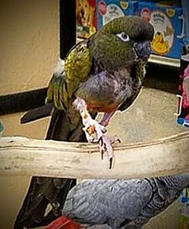 Conure for adoption in Lenexa, Kansas - Ollie