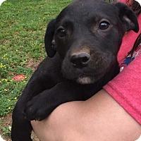 Adopt A Pet :: Bear - Hillsboro, NH