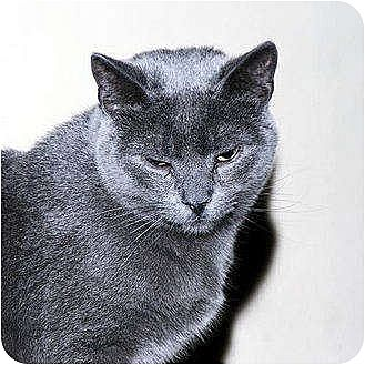 Domestic Shorthair Cat for adoption in Whitewater, Wisconsin - Dancer