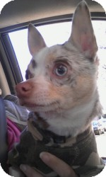 Chihuahua Dog for adoption in Marlton, New Jersey - Dakota rare blue merle