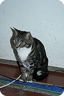 Domestic Shorthair Cat for adoption in Santa Rosa, California - Jasper
