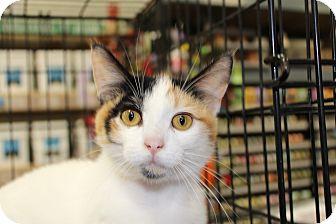 Calico Cat for adoption in Santa Monica, California - Trixie