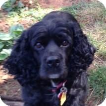 Cocker Spaniel Dog for adoption in Sacramento, California - Betsy
