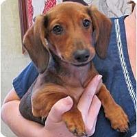 Adopt A Pet :: Lacey - Kingwood, TX