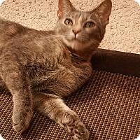 Adopt A Pet :: Mittens - Bentonville, AR