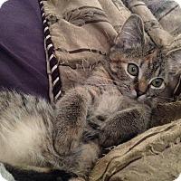 Adopt A Pet :: Arabella - St. Louis, MO