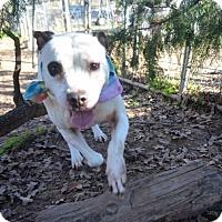Adopt A Pet :: Callie - Burleson, TX