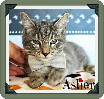 Domestic Shorthair Kitten for adoption in Arlington, Texas - Ashton