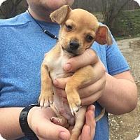 Adopt A Pet :: Hoss - Rexford, NY