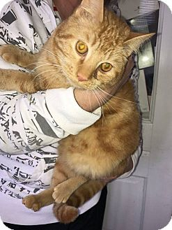 Domestic Shorthair Cat for adoption in Alliance, Ohio - Sherbert - Neutered