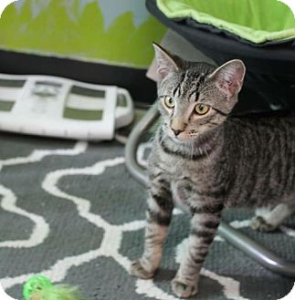 Domestic Shorthair Kitten for adoption in Fargo, North Dakota - Sammy