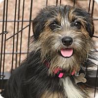 Adopt A Pet :: Spice - Woonsocket, RI