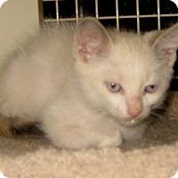 Adopt A Pet :: Fetta - Dallas, TX