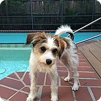 Adopt A Pet :: Dolly in Houston - Houston, TX