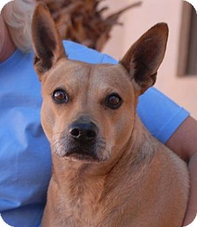 Shiba Inu/Australian Cattle Dog Mix Dog for adoption in Las Vegas, Nevada - Sandy
