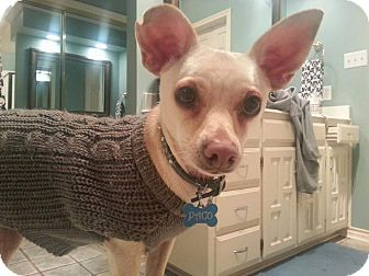 Chihuahua/Jack Russell Terrier Mix Dog for adoption in Arlington, Texas - Paco