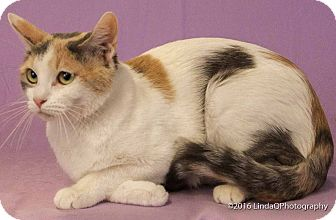 Calico Cat for adoption in Las Vegas, Nevada - Maaco