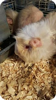 Guinea Pig for adoption in Simcoe, Ontario - Gingle