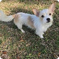Adopt A Pet :: Cookie - McKinney, TX