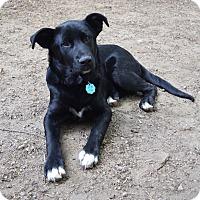 Adopt A Pet :: *Sadie - PENDING - Westport, CT