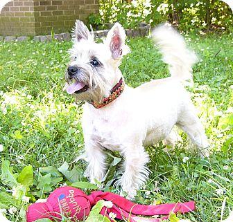 Westie, West Highland White Terrier/Cairn Terrier Mix Dog for adoption in Mocksville, North Carolina - Jake