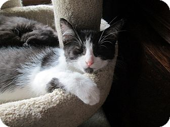 Domestic Longhair Kitten for adoption in Richland, Michigan - Pumba