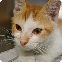 Domestic Shorthair Cat for adoption in Miami, Florida - Ricky