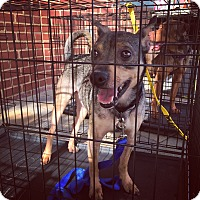 Adopt A Pet :: Badger - Manassas, VA