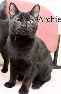 Domestic Shorthair Cat for adoption in Shelton, Washington - Archie