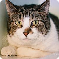 Adopt A Pet :: Gatorade - Spirit Cat - Brimfield, MA