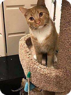 Domestic Shorthair Cat for adoption in Bensalem, Pennsylvania - Mr. Cat
