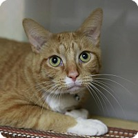 Domestic Shorthair Cat for adoption in Kettering, Ohio - Lord Nugget