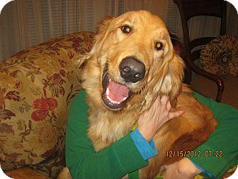 Golden Retriever Puppy for adoption in Avon, Ohio - COFFEE BEAN