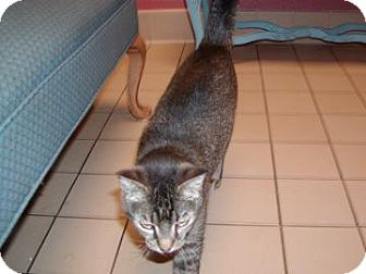 Domestic Shorthair Cat for adoption in Jackson, Michigan - Lola Rose