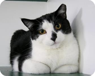 Domestic Shorthair Cat for adoption in Belleville, Michigan - Larry